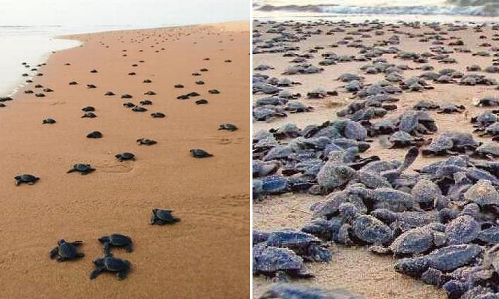 olive ridley turtles on the shore of sea